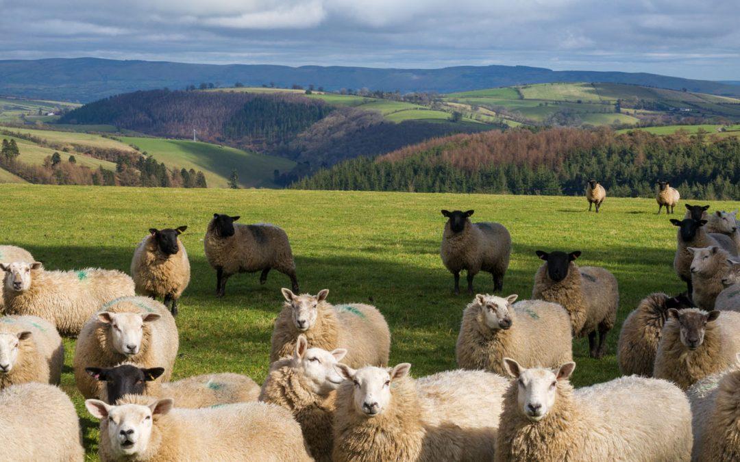Euro Quality Lambs Customer Story